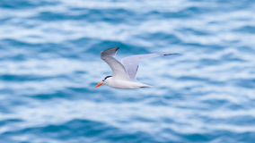 Royal Tern (Thalasseus maximus maximus) flying Stock Images