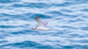 Royal Tern (Thalasseus maximus maximus) flying Stock Images
