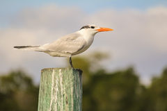 Royal Tern (Thalasseus maximus) Royalty Free Stock Photo