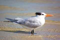 Royal Tern on a winter beach Royalty Free Stock Photos