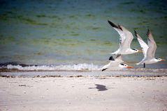 Royal terns. Three royal terns taking off with one shadow Royalty Free Stock Image