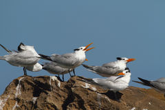 Royal terns. Resting on rock, Camuy coast, Puerto Rico Stock Photo
