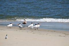 Royal Terns Royalty Free Stock Images