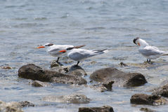 Royal Terns Balanced on Rocks in the Water Stock Images