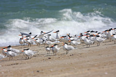 Royal Terns Stock Images