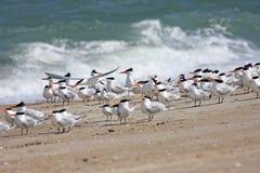 Royal Terns Stock Images