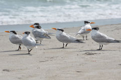 Royal terns on a beach showing their patchy winter plumage. Group of common seabirds, the royal tern, on a beach. Photo was taken during winter when the plumage Royalty Free Stock Photo