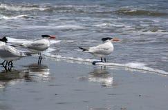 Royal Terns Royalty Free Stock Image