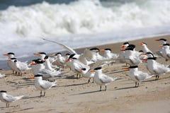 Royal Terns Royalty Free Stock Photos