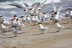 Royal Terns Royalty Free Stock Photo