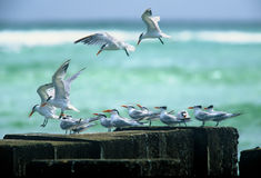 Royal terns landing, Trinidad Stock Photo
