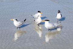 Royal Terns and Laughing Gull Hanging Out Stock Images