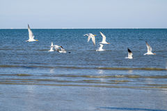Royal Terns and Laughing Gulls in Flight Stock Image