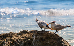 Royal Terns on Rocks in Mexico Royalty Free Stock Photos