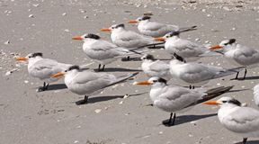 Royal Terns on Sanibel Island stock image