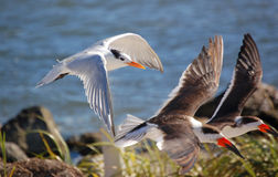 Royal Terns and Skimmers Royalty Free Stock Photos