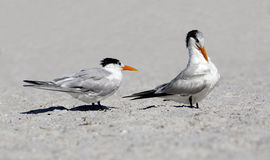 Royal Terns (Sterna maxima) Stock Images