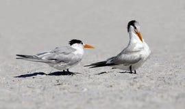 Royal Terns (Sterna maxima) Stock Images