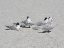 Royal Terns (Sterna maxima) Stock Photography
