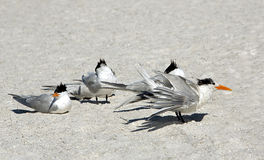 Royal Terns (Sterna maxima) Royalty Free Stock Photography