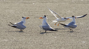 Royal terns (Sterna maxima) displaying with a fish. Galveston, Texas, USA Royalty Free Stock Images