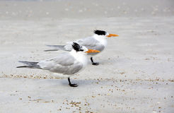 Royal Terns (Sterna maxima) Stock Photo
