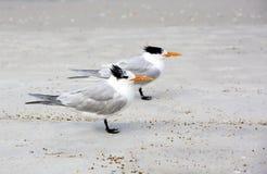 Royal Terns (Sterna maxima) Stock Photo