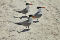 Royal Terns Stock Image