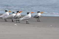 Royal terns with winter plumage on a beach Royalty Free Stock Images