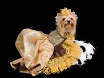 Royal terrier Royalty Free Stock Photography