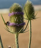 Royal thistle Royalty Free Stock Photos