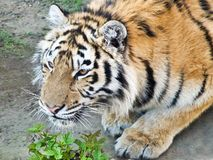 Royal tiger Royalty Free Stock Images