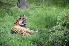 Royal tiger or bengal tiger Royalty Free Stock Images