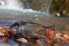 Royal trout Stock Photography
