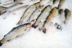 Royal trout fish on display in the fish shop stock photography