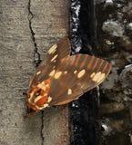 Royal Walnut Moth Stock Photography