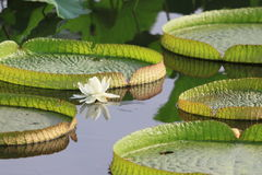 Royal water lily Stock Images