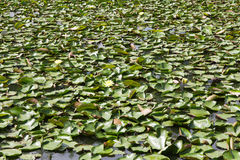 Royal Water Lily background Stock Image