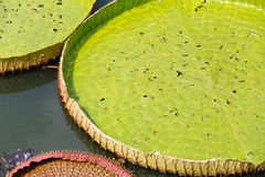 Royal Water Lily Stock Image