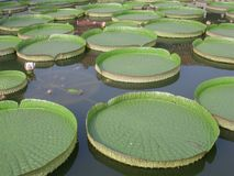 Royal water lily Stock Photo