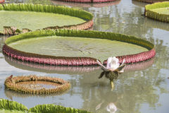 Royal Water Lily Victoria 1 Royalty Free Stock Photo