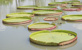 Royal Water Lily Victoria 2 Royalty Free Stock Image