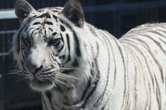 Royal White Bengal Tiger 11 stock images
