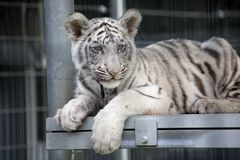 Royal White Bengal Tiger Cub Royalty Free Stock Images