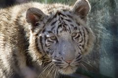 Royal White Bengal Tiger Cub Face Shot Royalty Free Stock Photography