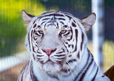 Royal White Bengal Tiger Looking Stock Photo