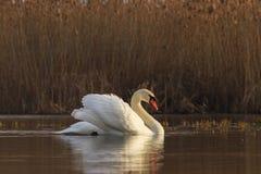 Royal White Bird Royalty Free Stock Photography