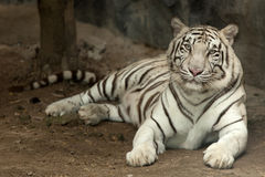 Royal white tiger Royalty Free Stock Images