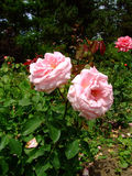 Royale Perfection Rose Imagem de Stock