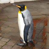 Royalin van de pinguïn Royalty-vrije Stock Foto's